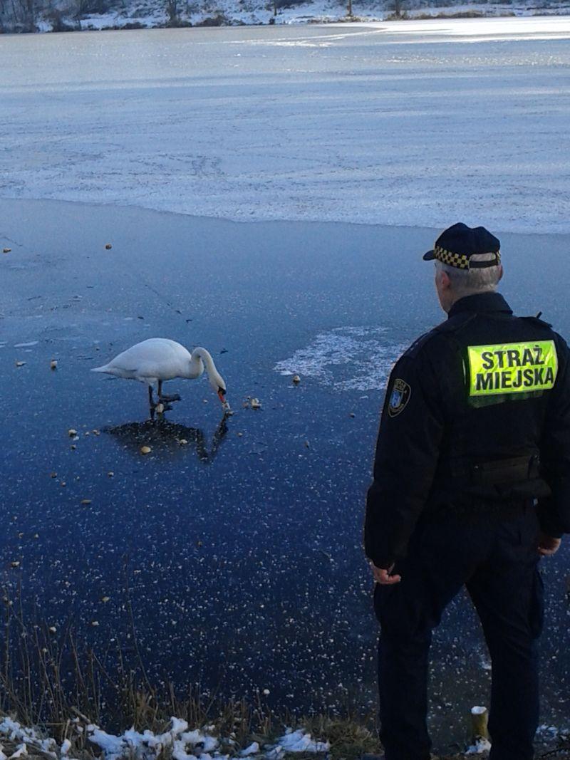 Łabędź przymarzł do tafli lodu. Na pomoc przyjechali strażnicy miejscy